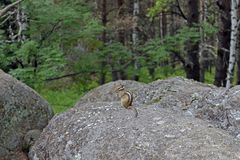 The chipmunk sits on a rock in the forest. Present, not staged photo. Stock Photos