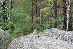 The chipmunk sits on a rock in the forest. Present, not staged photo. Stock Photo