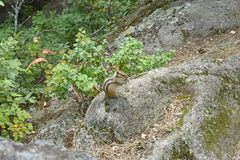 The chipmunk sits on a rock in the forest. Present, not staged photo. Stock Image