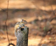The chipmunk sits on the stump. Royalty Free Stock Photo