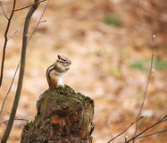 The chipmunk sits on the stump. Stock Photos