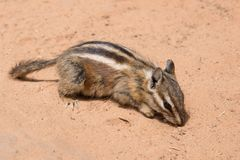 Chipmunk sitting and eating in the colorful sand of the desert in Arizona stock photography