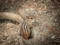 Chipmunk sitting on the ground and looking around in park Royalty Free Stock Image