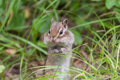 Chipmunk sitting on hinder legs. In a grass stock photo