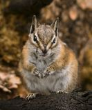 Chipmunk sitting on a log. A chipmunk in the fall getting ready for the coming winter sits on a log royalty free stock photo