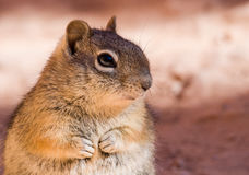 Chipmunk is sitting on the rock Royalty Free Stock Photography