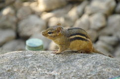 Chipmunk sitting on stone in the Brookfield zoo, USA, North America. Sunset. Royalty Free Stock Photography
