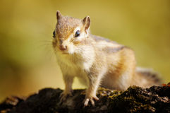 Chipmunk is sitting on a stump Stock Image