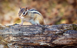 Chipmunk sitting on a tree branch Royalty Free Stock Photography