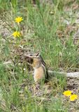 Chipmunk with Bison Fur Royalty Free Stock Image