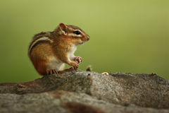 Chipmunk. Sitting chipmunk in Yellowstone National Park stock photos