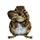 Chipmunk sketch vector color picture. Chipmunk stands and shoves the nut for the cheek, a big swollen cheek, sketch vector graphics color picture Royalty Free Stock Image