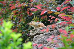 Chipmunk. Small, brown chipmunk sitting on a rock surrounded by leaves Royalty Free Stock Images