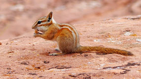 A chipmunk. A small red-brown chipmunk during feeding Stock Photography