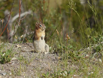 Chipmunk Squirrel Royalty Free Stock Images