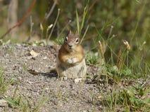 Chipmunk Squirrel Stock Photos