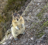 Chipmunk. A chipmunk standing and looking royalty free stock photo