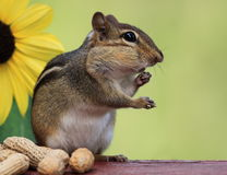 Chipmunk standing next to sunflower Stock Photo