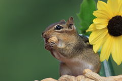 Chipmunk standing next to sunflower eating a peanut Stock Photo