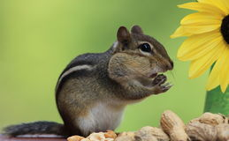 Chipmunk standing next to sunflower surrounded by peanuts Royalty Free Stock Image
