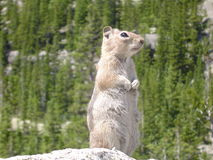 Chipmunk standing on a rock in Rocky Mountain National Park. A cute brown and white chipmunk rodent standing on a rock in the Colorado Rockies, with the Royalty Free Stock Photos