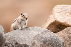Chipmunk. Standing on a rock with simple background Royalty Free Stock Image