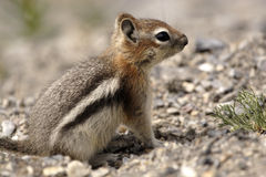 Chipmunk Standing Still. Chipmunk sitting still on the ground Stock Photo