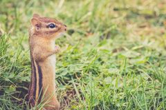 Chipmunk stands tall with hands at side royalty free stock images