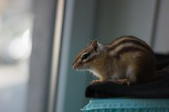 Chipmunk staring out of window stock photo