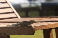 Chipmunk is stolen on a chaise lounge. In search of food. Royalty Free Stock Photography