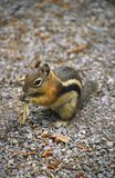 Chipmunk with a stolen noodle Royalty Free Stock Photos