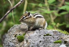 Chipmunk on the stone. Searching for food Royalty Free Stock Images