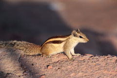 Chipmunk on stone Stock Photos