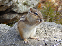 Chipmunk on the stone eating the seeds Stock Images