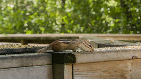 Chipmunk Stretched out on Rail. Shot at Riverside Park Cambridge Ontario Royalty Free Stock Photo