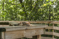 Chipmunk Stretched out on Rail. Taken at Riverside Park Cambridge Ontario Stock Photo