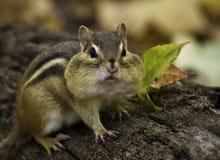 Chipmunk (striatus tamias) Στοκ εικόνα με δικαίωμα ελεύθερης χρήσης