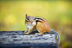 Chipmunk with stuffed cheek on log Stock Image