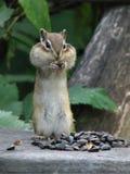 Chipmunk stuffs the cheeks stock photo
