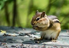 Cute Chipmunk Stuffs Its Cheeks Stock Image