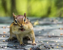 Funny Chipmunk Stuffs Its Cheeks Stock Images