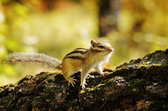 Chipmunk on a stump in the forest Stock Photos