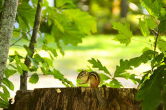 Chipmunk on a stump Royalty Free Stock Photos