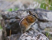 Chipmunk su una roccia Immagine Stock