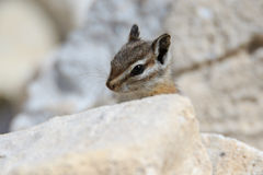 Chipmunk on a summer day. Chipmunk peeking over a rock royalty free stock image