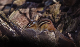 Chipmunk and sunbeam Royalty Free Stock Photography