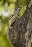 Chipmunk sur l'arbre Photo stock