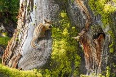 Chipmunk sur l'arbre Image stock