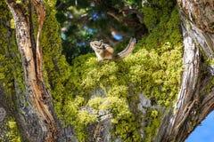Chipmunk sur l'arbre Photographie stock libre de droits