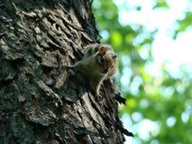 Chipmunk sur l'arbre images libres de droits
